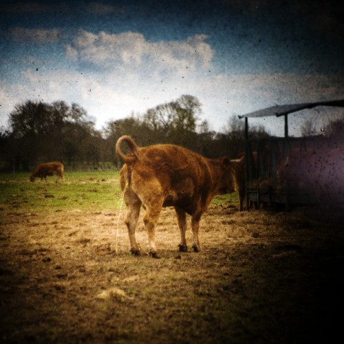 La Vache (grand format)